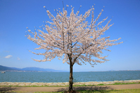 Lake Biwa in full bloom Yoshino cherry tree Stock photo [3486871] Yoshino