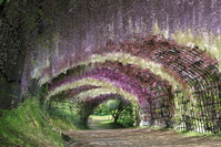 Tunnel of Fukuoka Prefecture Kawachi Fuji Fuji-en stock photo