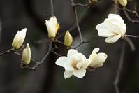 Yulan Stock photo [3591705] Flower