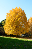 Ginkgo trees and grass and blue sky Stock photo [3591970] Ginkgo