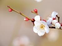 White plum Stock photo [3593041] White
