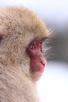 Jigokudani Monkey Park Snow Monkey Stock photo [3694191] Snow