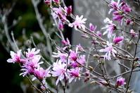 Magnolia stellata Stock photo [3694419] Magnolia