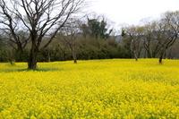 Shimanto Nyuta of rape field Stock photo [3694959] Kochi