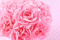 Pink Carnation Bouquet Stock photo [3697439] Carnation
