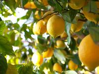 Lemon tree Stock photo [3698182] Lemon