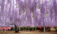 Purple wisteria Stock photo [3701591] Wisteria