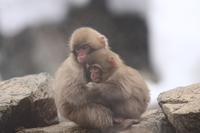 Little Snow Monkey to embrace in the frigid Stock photo [3802842] Snow