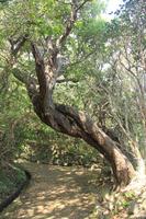 Quercus phillyraeoides Stock photo [3803799] Quercus