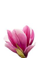 Magnolia flower Stock photo [3804366] Magnolia