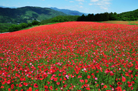 Chichibu sky of poppy Stock photo [3808018] Poppy