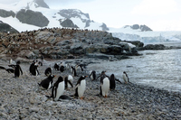 Of the South Shetland Islands of Antarctica penguins Stock photo [3808889] Antarctic