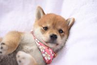Puppy Shiba Inu Stock photo [3810827] Shiba