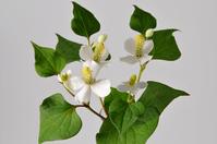 Dokudami flowers Stock photo [3810892] Dokudami