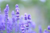 Lavender Stock photo [3812809] Lavender