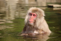 Japanese macaques to soak in the hot springs Stock photo [3815119] Japanese