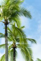 Tree of Phuket palm Stock photo [3911948] Palm