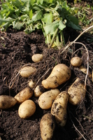 Harvest of potatoes Stock photo [3913358] A