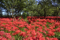 Of purse field red spider lily Stock photo [3916916] Red