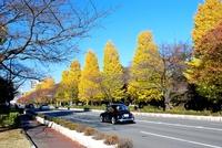 Fall of national and Hitotsubashi University street Stock photo [3920057] Hitotsubashi