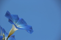 Morning glory and blue sky Stock photo [4087253] Morning