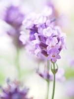 Lavender Stock photo [4089714] Lavender
