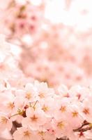 Sakura Yoshino cherry tree Stock photo [4095053] cherry
