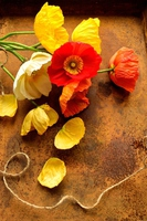 Also a colorful poppy that was placed on a tray rusty paralysis Stock photo [4212826] Poppy