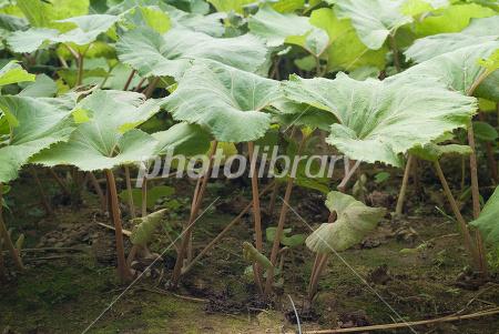 フキの画像 p1_39
