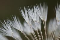Dandelion fluff Stock photo [137823] Fluff