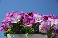 Pansy dancing in the blue sky Stock photo [4322367] pansy
