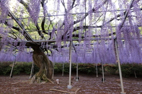 Purple wisteria Stock photo [4396826] Wisteria