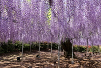 Purple wisteria Stock photo [4396831] Wisteria