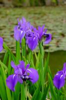 Iris Stock photo [4399703] Ayame