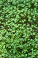 Liverwort of the breeding season Stock photo [4476782] Marchantia