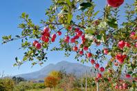 Of autumn leaves and apple groves Iwaki Stock photo [4481347] Apple