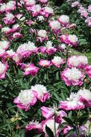 Grand blooming peony Stock photo [4486007] peony
