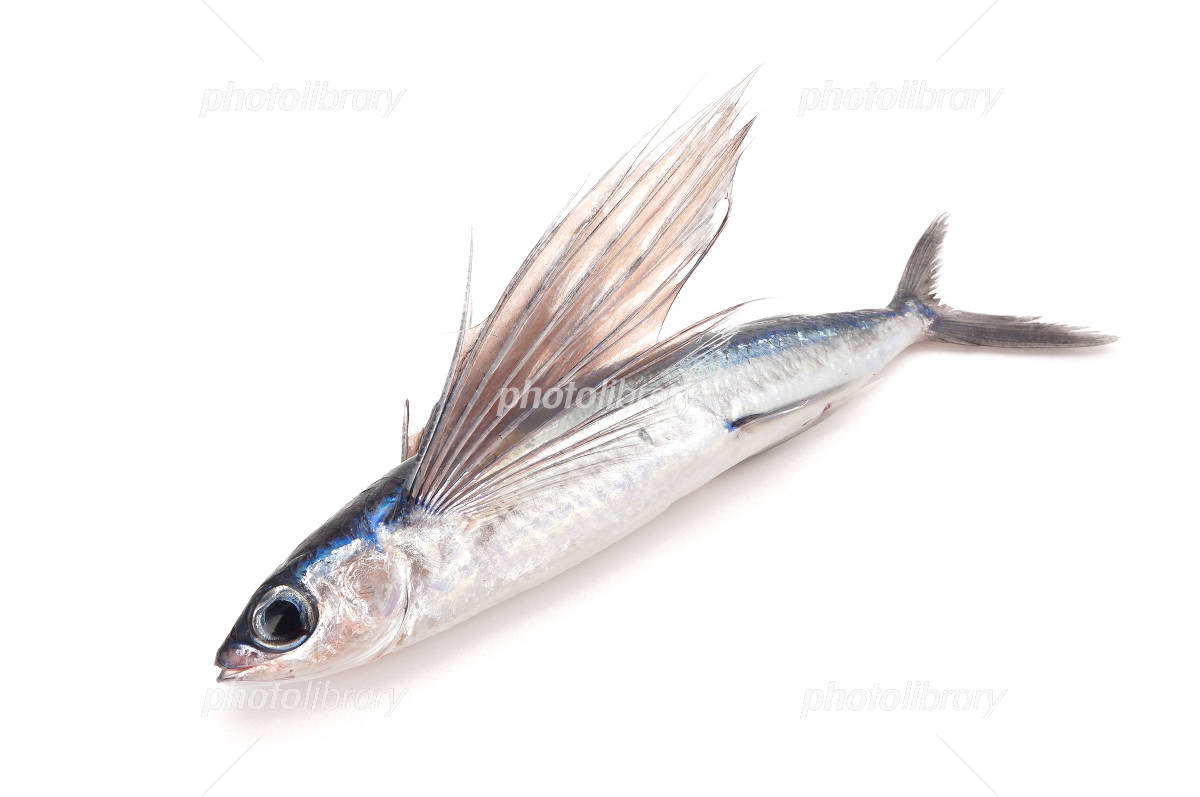 Flying fish that spread the fin Photo