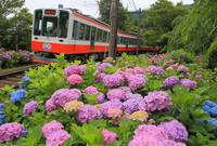 Hakone Tozan and hydrangea Stock photo [4561100] Hakone
