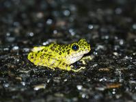 Amami Ishikawa Gael Stock photo [4564247] Frog