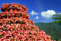 Begonia and blue sky Stock photo [4565340] Begonia