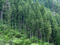 Cedar forest of Yame Stock photo [4624754] Too