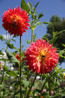 Dahlia sisters dancing in the blue sky Stock photo [4629004] Dahlia