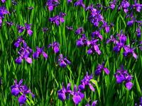 Iris Stock photo [4692676] Iris