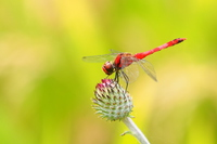 Natsuakane (male) and the thistle of bud Stock photo [4694984] Dragonfly