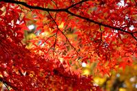 山中湖村の紅葉
