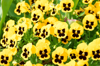 Pansy yellow Stock photo [4759627] Pansy