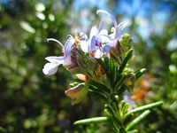 Rosemary Stock photo [4847463] Herb