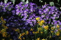 Contest of cineraria and narcissus Stock photo [4848663] cineraria