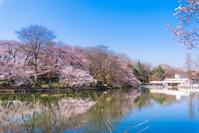 Cherry blossoms in full bloom Inokashira Stock photo [4954995] Cherry